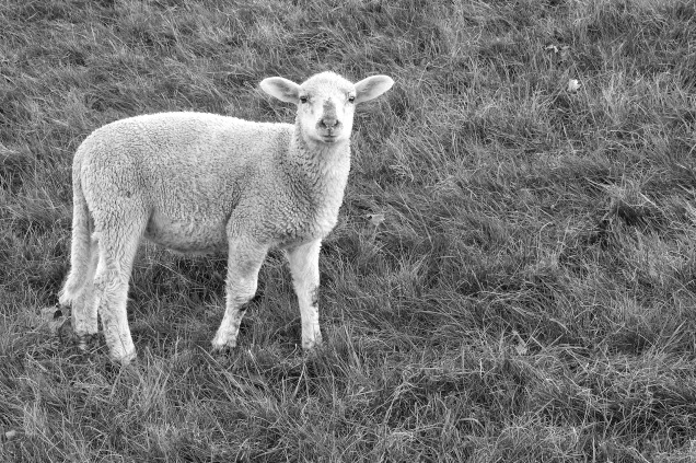 lamb-1401292_1920.jpg