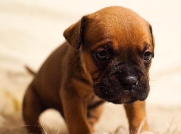 puppy-384647_1920