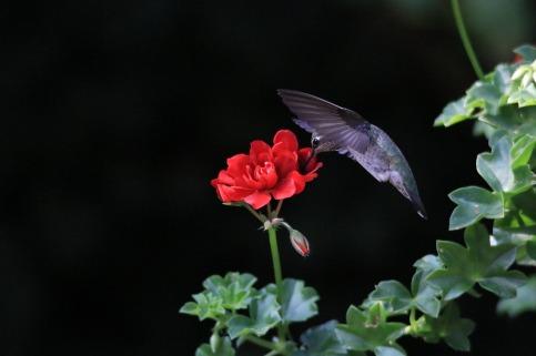 hummingbird-2747561_1280